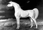 El caballo arabe