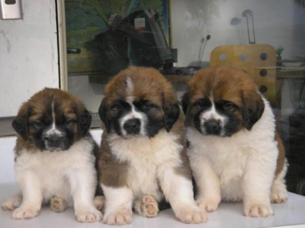 1323547103_290124523_4-venta-de-cachorros-san-bernardo-Animales