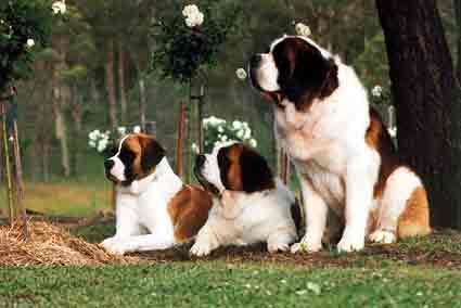 raza san bernardo de perro 3